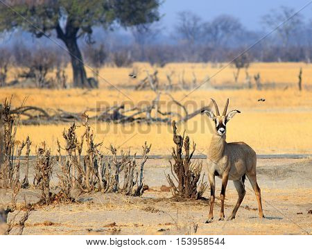 A lone Roan Antelope standing on the dry dusty plains in Hwange National Park , Zimbabwe