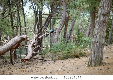 Peacock Sitting On A Tree Branch In Plaka Forest
