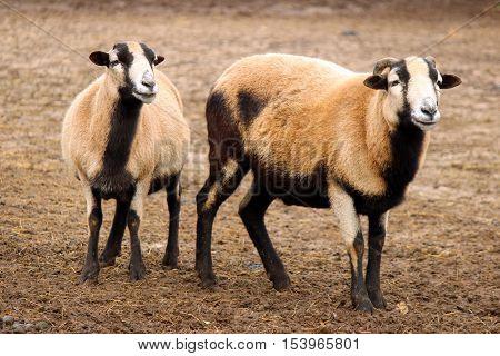Two domestic sheep in barnyard looking at camera
