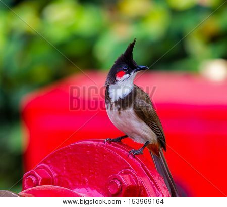 The red-whiskered bulbul is a passerine bird found in Asia. It is a member of the bulbul family. It is a resident frugivore found mainly in tropical Asia. It has been introduced in many tropical areas