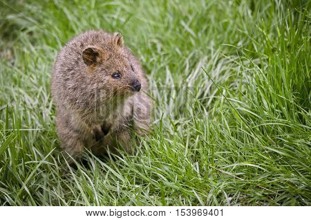 this is a close up of a pademelon