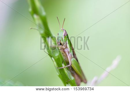 Locusts are the swarming phase of certain species of short-horned grasshoppers. These insects are usually solitary, but under certain circumstances become more abundant and change their behaviour.