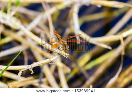 This dragonfly is found in India. This species is widespread but these were photographed near Bangalore India.