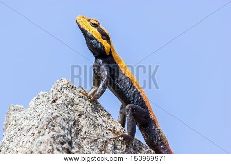 The Peninsular rock agama or South Indian rock agama. This species of lizard has a large head that is elongated and depressed, with the cheeks swollen in adult males