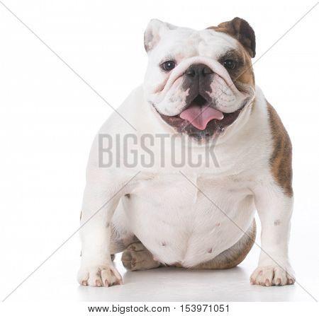 happy bulldog puppy looking at viewer