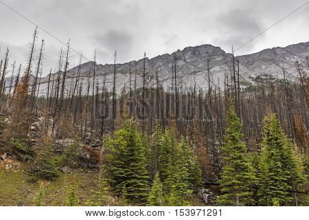 Aftermath Of A Forest Fire - Jasper National Park, Canada