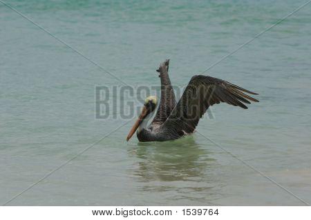 Brown Galapagos Pelican