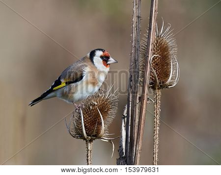 European goldfinch (Carduelis carduelis) sitting on a branch with vegetation in the background