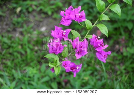 BougainvilleaPaper flower purple beautiful natural in garden