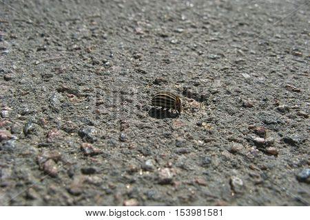 Colorado potato beetle on asphalt. The beetle walking on asphalt.