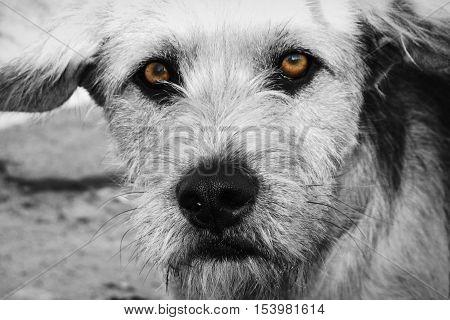 Brown sad stray dog. BW Version. The hungry stray dog.