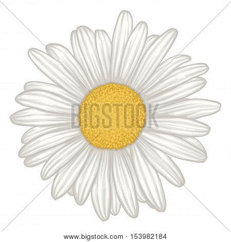 beautiful white daisy flower isolated. for greeting cards and invitations of wedding birthday mother's day and other seasonal holiday