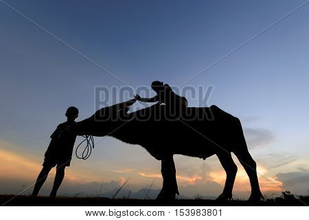 Silhouette of buffalo on sunset . Culture of coexistence of the Children and Buffalo .