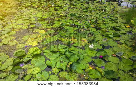 BeautifulBlooming Nymphaeaceae water lilies on shallow pond under sunny sky