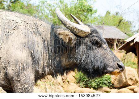 Close Up Shot Of A Water Buffalo All Dirty