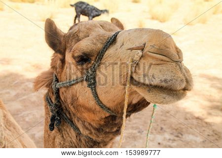 Close Up Shot Of A Camel In The Indian Desert
