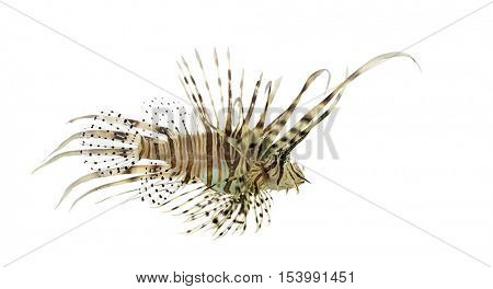 Side view of a Pterois volitans or red lionfish isolated on white