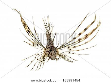 Front view of a Pterois volitans or red lionfish isolated on white