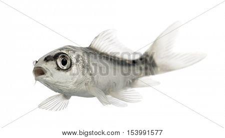 grey koi swimming mouth open isolated on white