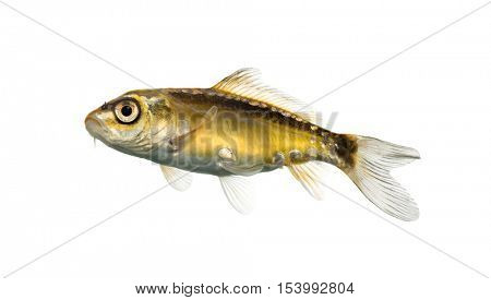 Side view of a yellow koi looking up isolated on white