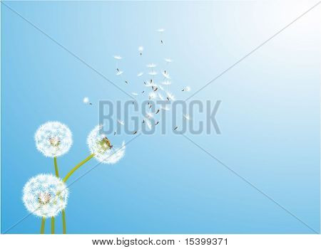 Dandelion  glowing by the wind. Vector.