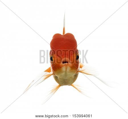 Front view of a Lion's head goldfish opening mouth isolated on white