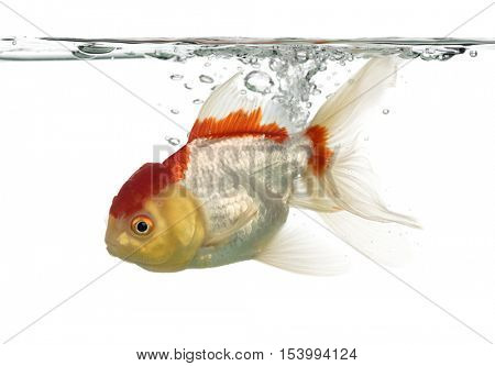 Side view of a diving lion's head goldfish isolated on white