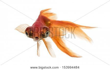 Front view of a Goldfish in water islolated on white