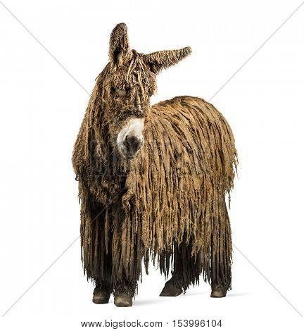 Poitou donkey with a rasta coat isolated on white