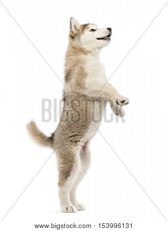 Alaskan Malamute puppy on hind legs  isolated on white