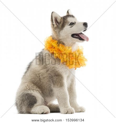 Alaskan Malamute puppy sitting and panting with a yellow collar isolated on white