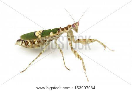 Female flower mantis - Creobroter gemmatus, isolated on white