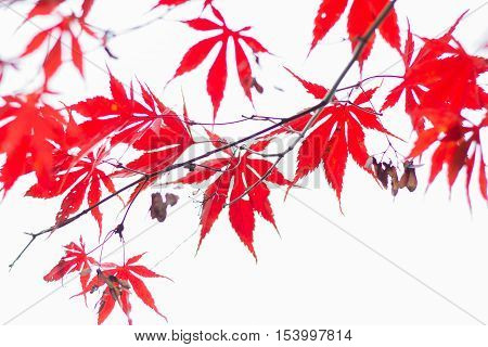 Red leaves hanging from a tree in autumn.