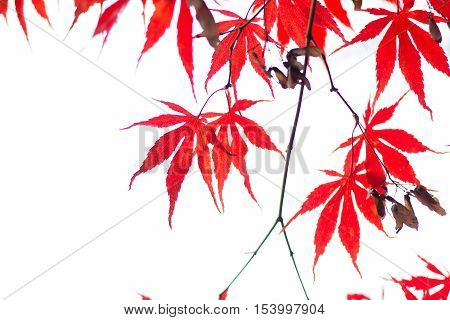 Red leaves hanging from a tree in fall.