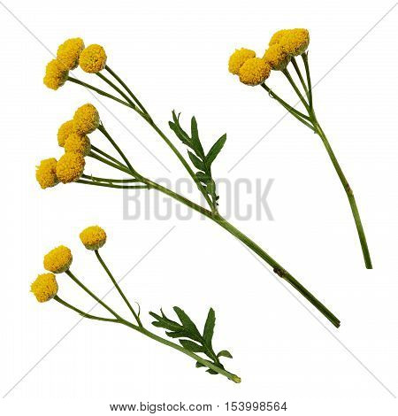 Set of yellow tansy flowers isolated on white