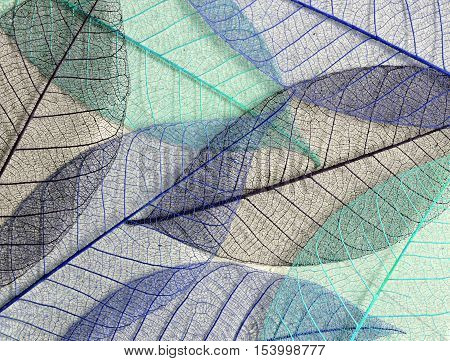 Closeup of blue mulberry leaves skeletons for background