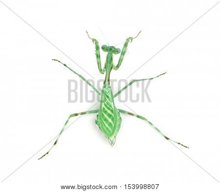 Female african Pinstripe Mantis - Miomantis binotata, isolated on white