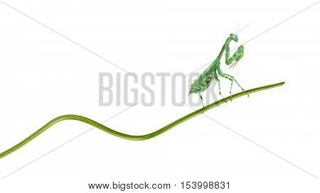 female african Pinstripe Mantis - Miomantis binotata, on a blade of grass, isolated on white