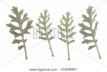 Silver leaves of cineraria maritima isolated on white