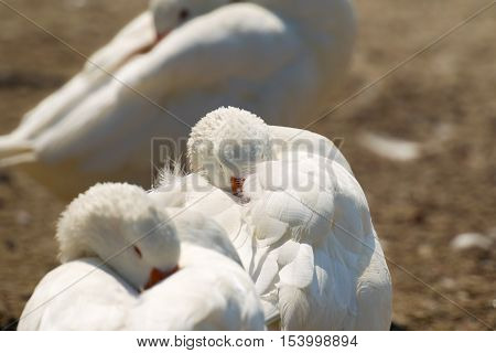 White gooses sleeping. Focus is on the second goose.