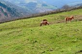 Horses Grazing on Alpine Meadows on the Slopes of The Pyrenees poster