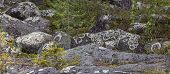 Round stones in the Nordic forests covered of Arctoparmelia centrifuga, lichen. poster