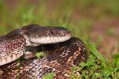 A large Texas Rat Snake in a defensive posture. poster