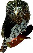 A vector image of a Pygmy Owl. Claucidium passerinum (lat.) poster