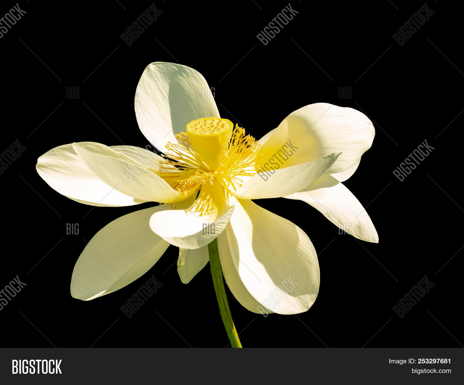 White open lotus image photo free trial bigstock white open lotus flower with yellow pestle is isolated on a black background izmirmasajfo