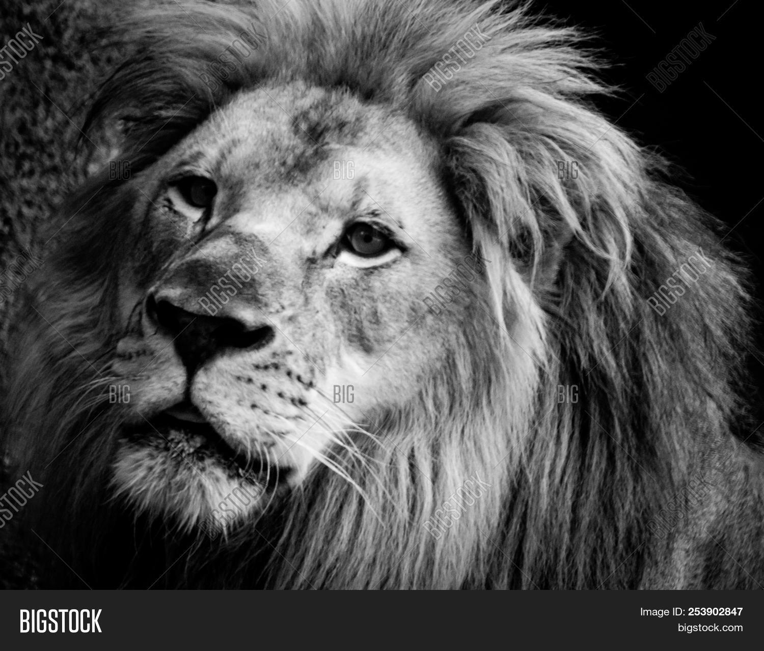 Black and white image of a male lions face