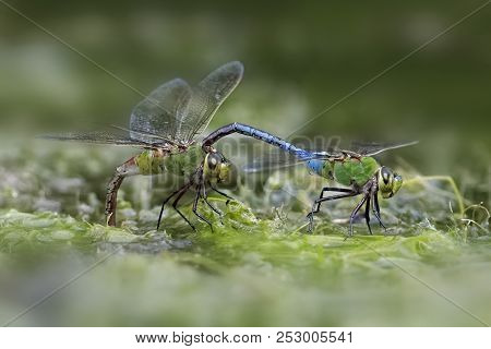 A Male Green Darner Dragonfly (anax Junius) Clasps A Female Behind Her Head - Ontario, Canada