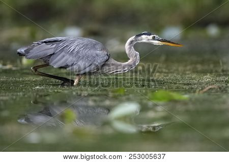 Great Blue Heron (ardea Herodias) Stalking Its Prey In A Shallow River - Pinery Provincial Park, Ont