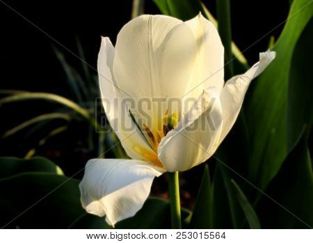 A One White Tulip In Garden With Golden Sunlight. Tepals Are White And Background Dark. Amazing Gift