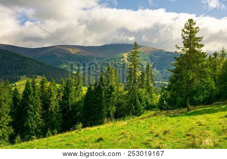 Spruce Trees On The Grassy Slope. Wonderful Scenery In Mountains. Beautiful Weather With Clouds Over